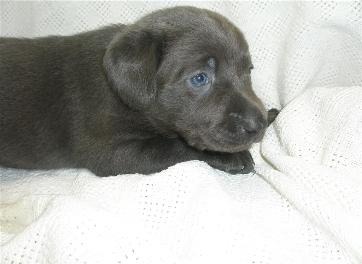 Marley's Charcoal Lab puppies